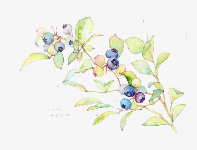 Blueberry hand painted png. Blueberries clipart watercolor