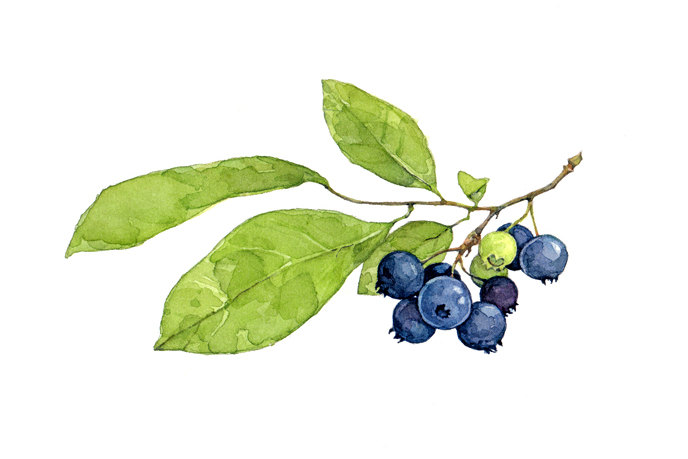 Blueberries clipart watercolor. Blueberry bush drawing at