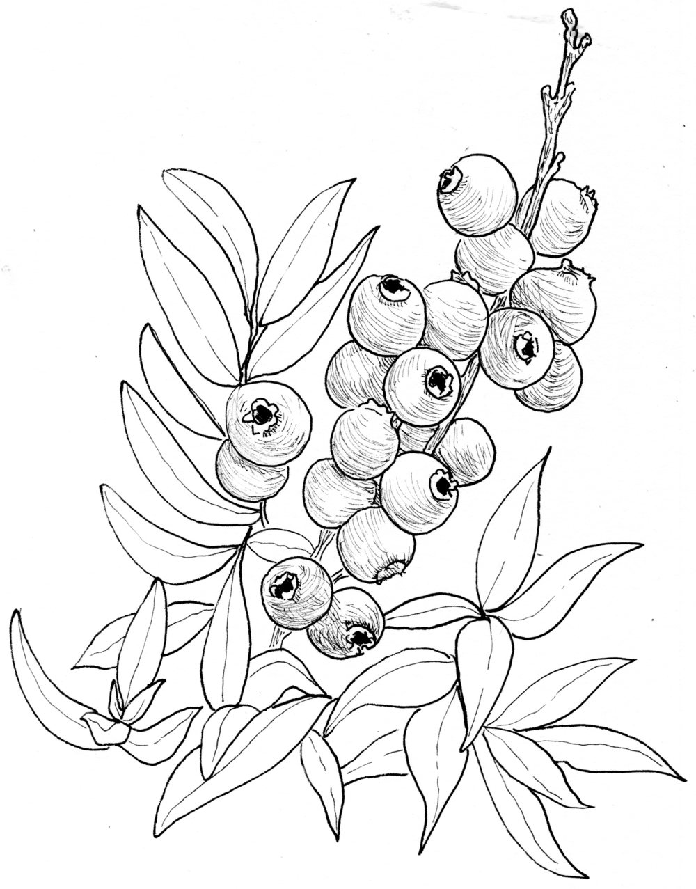 Image result for drawings. Blueberries clipart blueberry bush