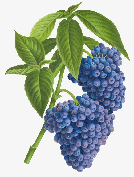 Fruit png image and. Blueberry clipart blueberry plant