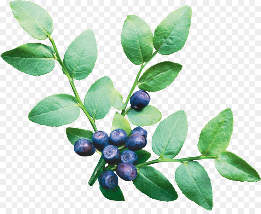 Blueberry clipart blueberry tree. Tea food fruit transparent
