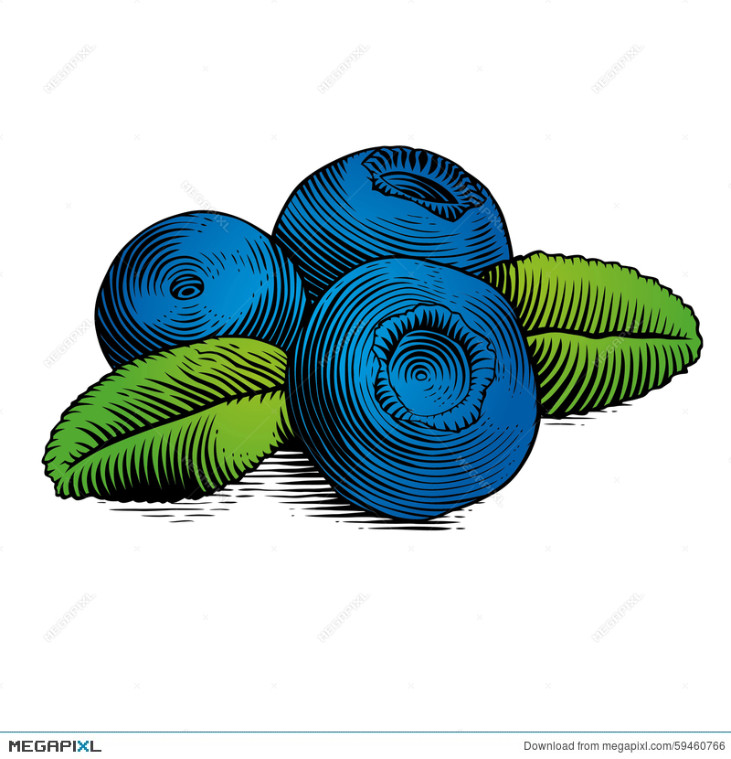 Of illustration megapixl. Blueberry clipart branch