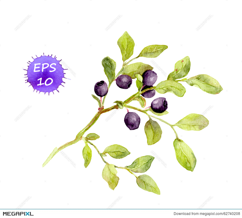 With leaves and berries. Blueberry clipart branch