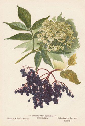 An elderflower tattoo to. Blueberry clipart elderberry