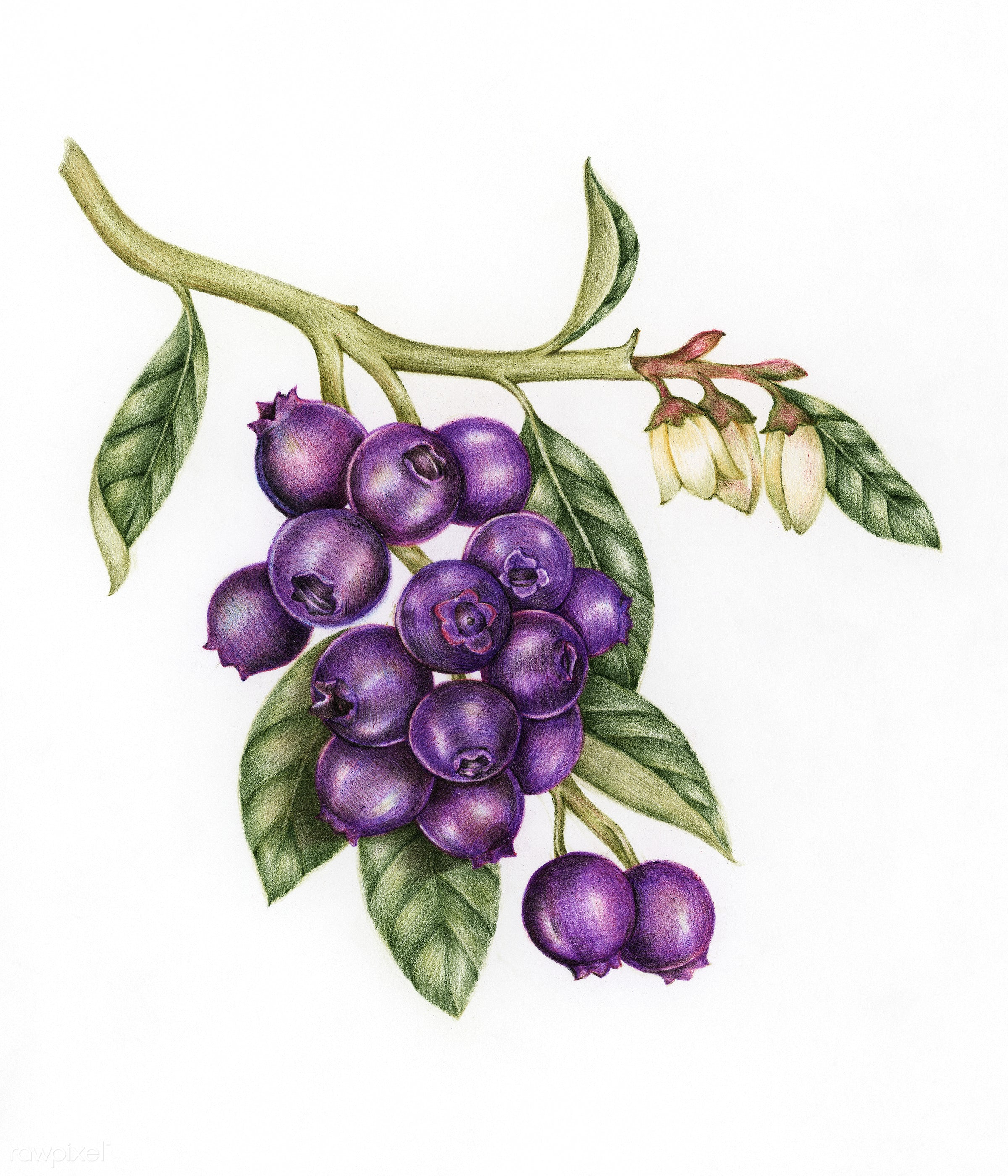 Blueberry clipart sketch. Illustration drawing style of