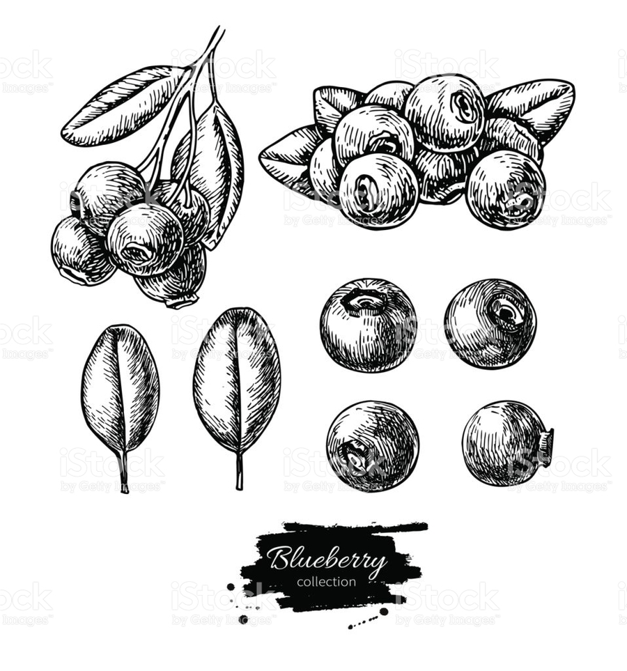 blueberry clipart sketch