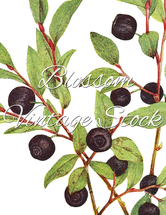 Blueberry clipart vintage. Image blueberries graphic for