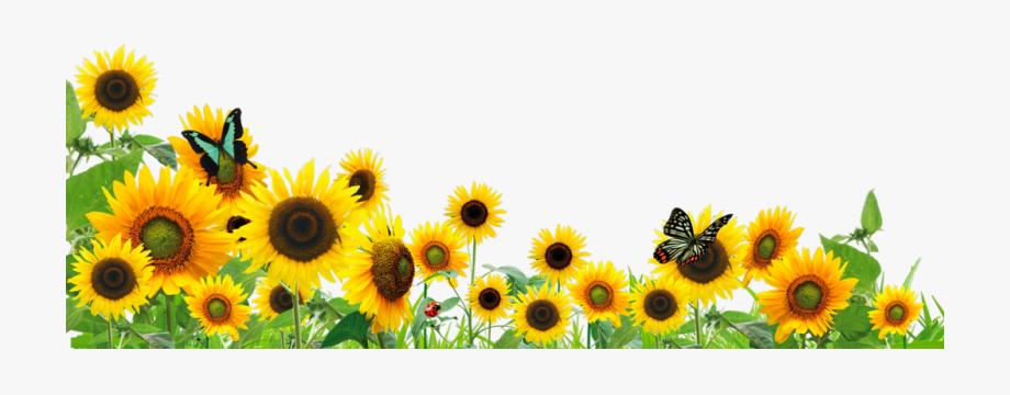Boarder clipart sunflower. Ftestickers flowers sunflowers butterfly