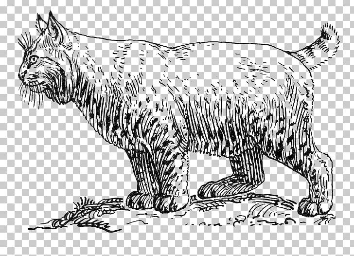 Cougar wildcat coloring book. Bobcat clipart artwork