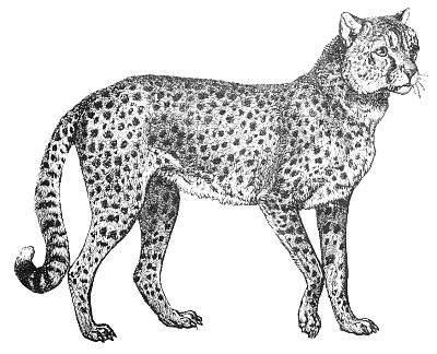 Free picture of some. Bobcat clipart black and white