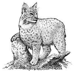 Free graphics images and. Bobcat clipart bob cat