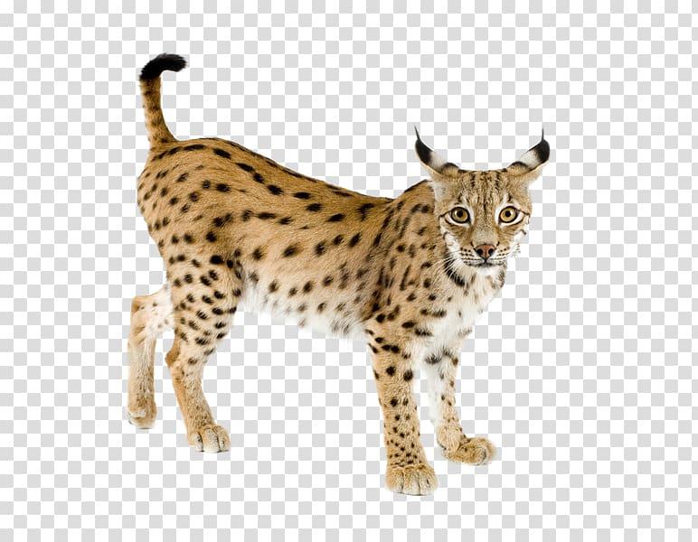 Bobcat clipart canada lynx. Eurasian iberian felidae