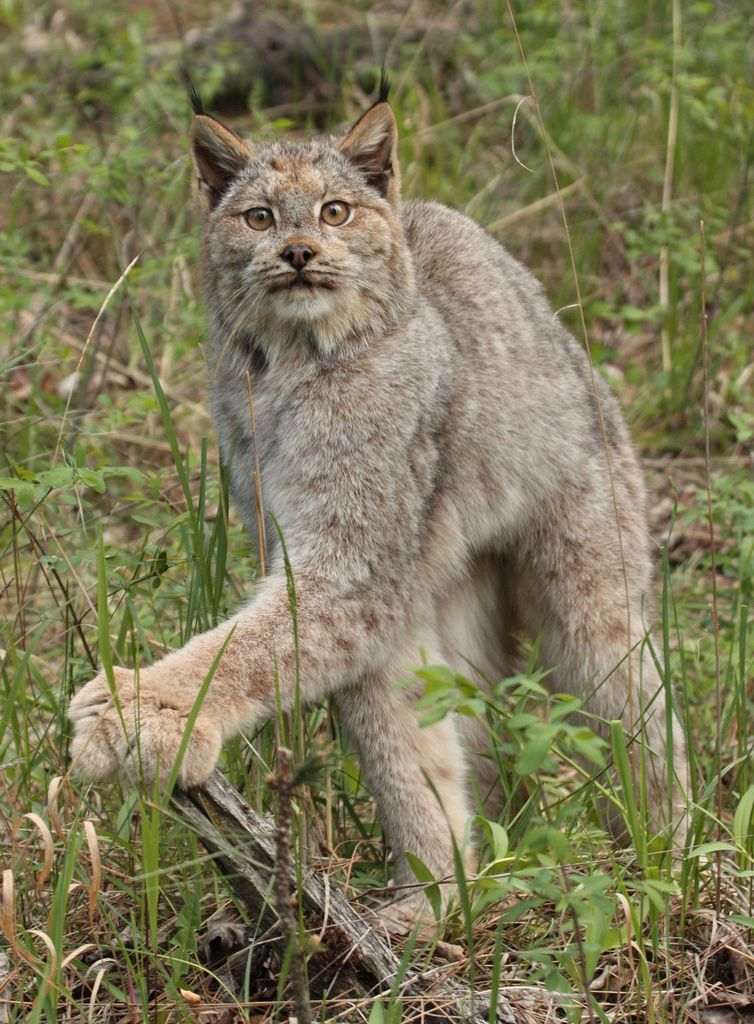 Bobcat clipart canada lynx. Canadian and cat flickr