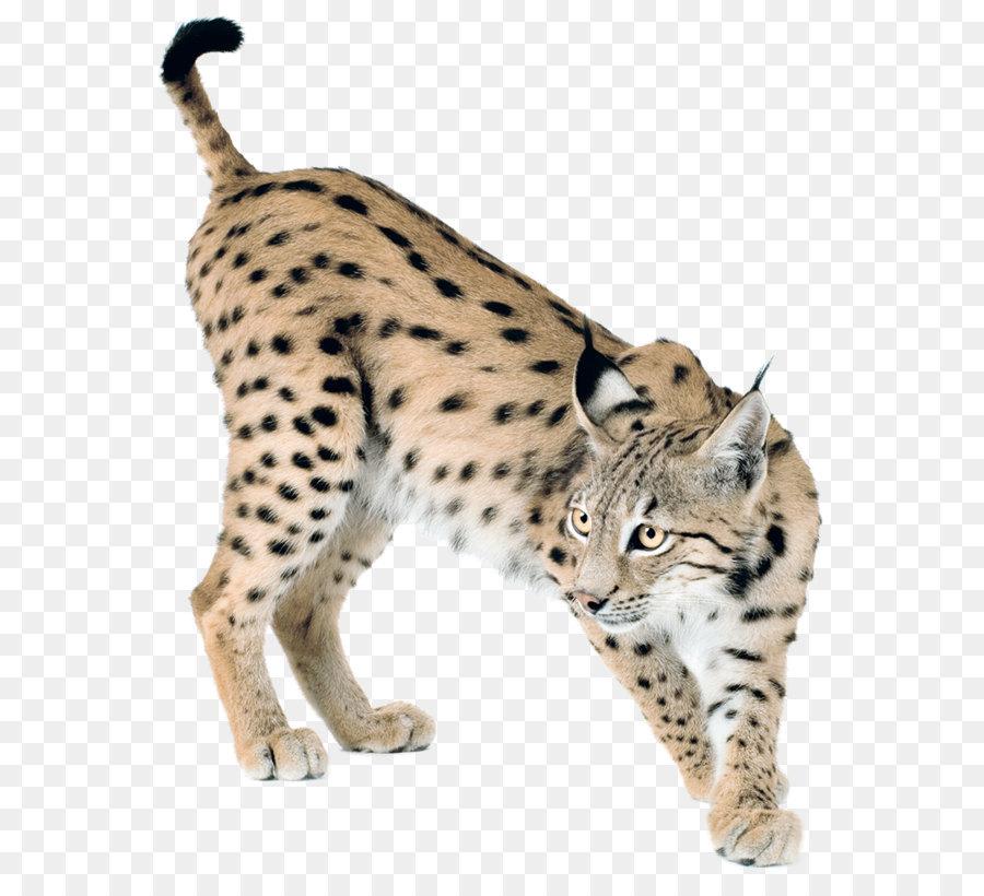 Eurasian felidae png download. Bobcat clipart canada lynx