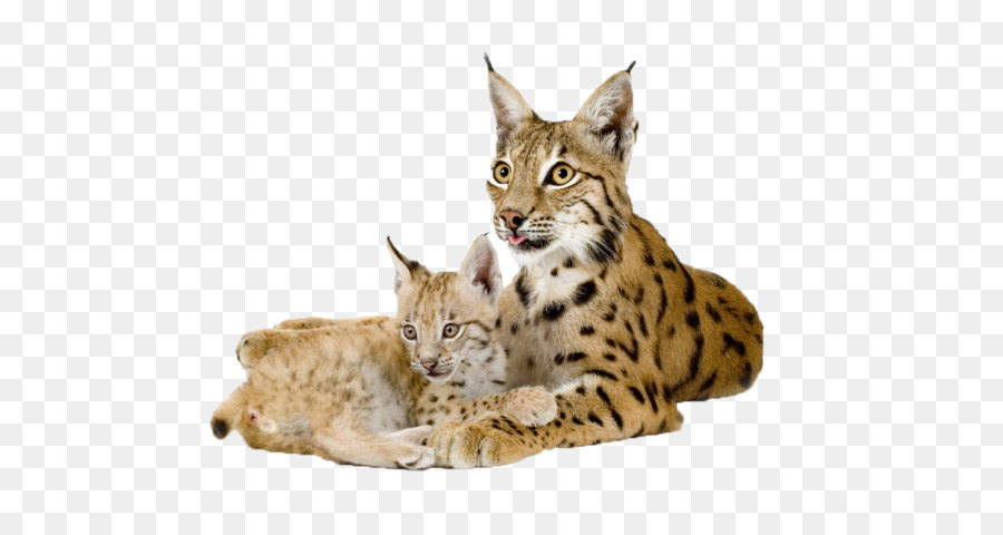 Bobcat clipart canada lynx. Eurasian felidae wild png