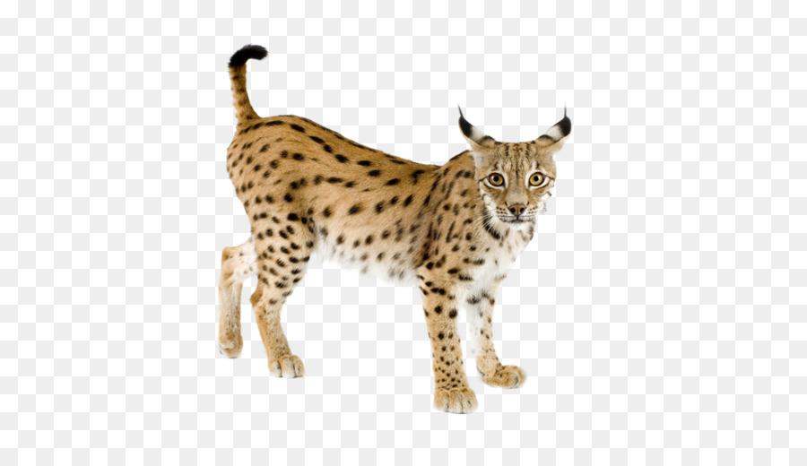 Eurasian iberian felidae png. Bobcat clipart canada lynx