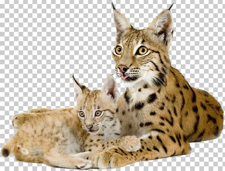 Eurasian felidae png . Bobcat clipart canada lynx