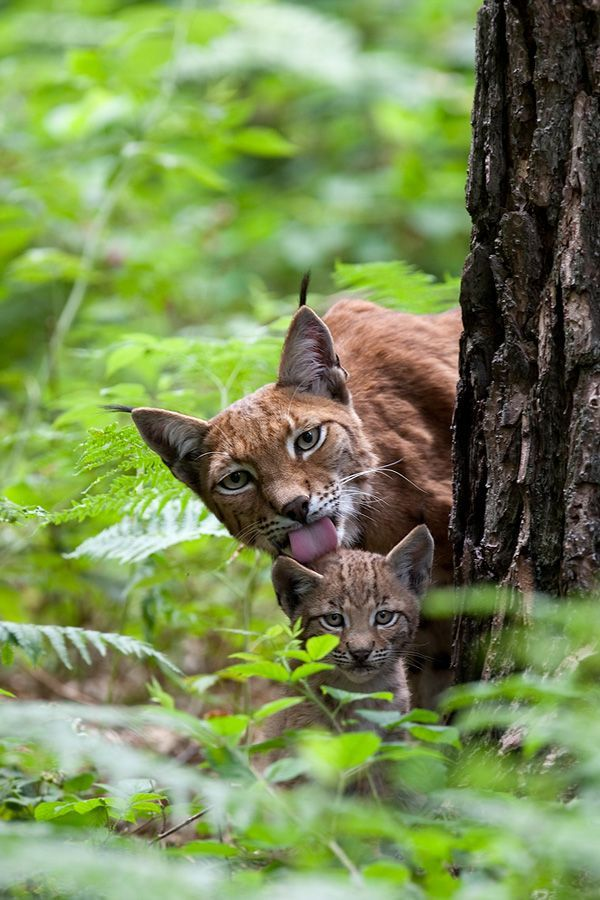 Bobcat clipart caracal. Mom this is so