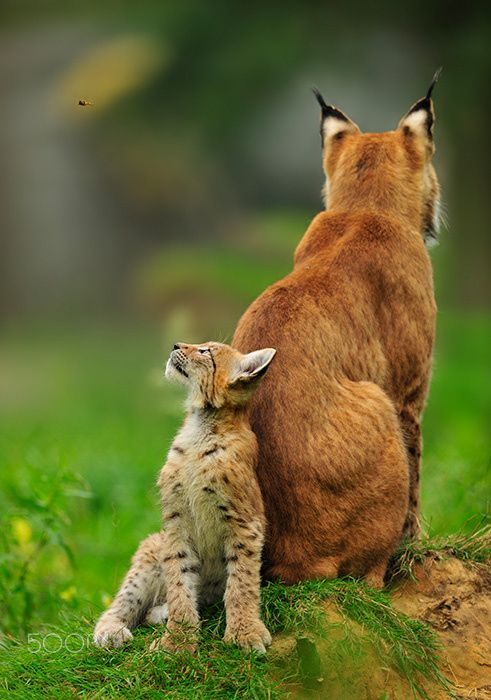 best images on. Bobcat clipart caracal
