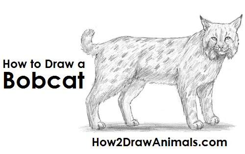 Bobcat clipart draw. How to a