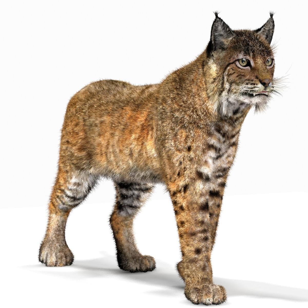 Png transparent images pluspng. Bobcat clipart lynx
