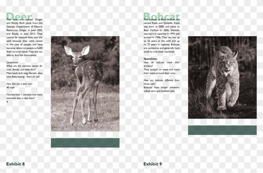 Transparent scratches wild cat. Bobcat clipart scratch