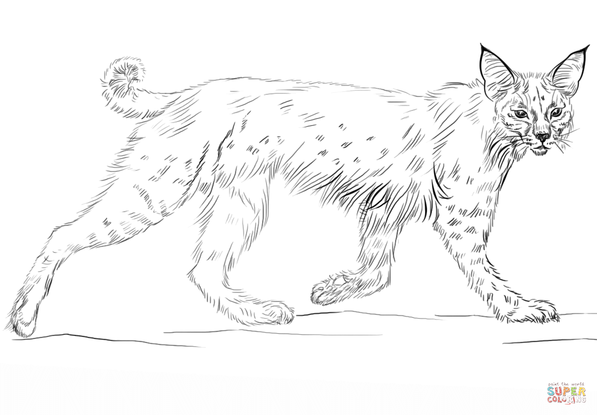 Running coloring page free. Bobcat clipart template