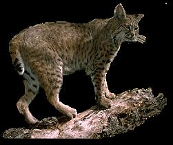 Bobcat clipart transparent. Clip art graphics bobcatsmallpng
