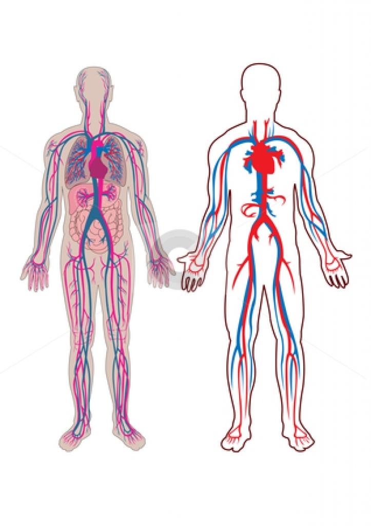 Human free. Body clipart anatomy