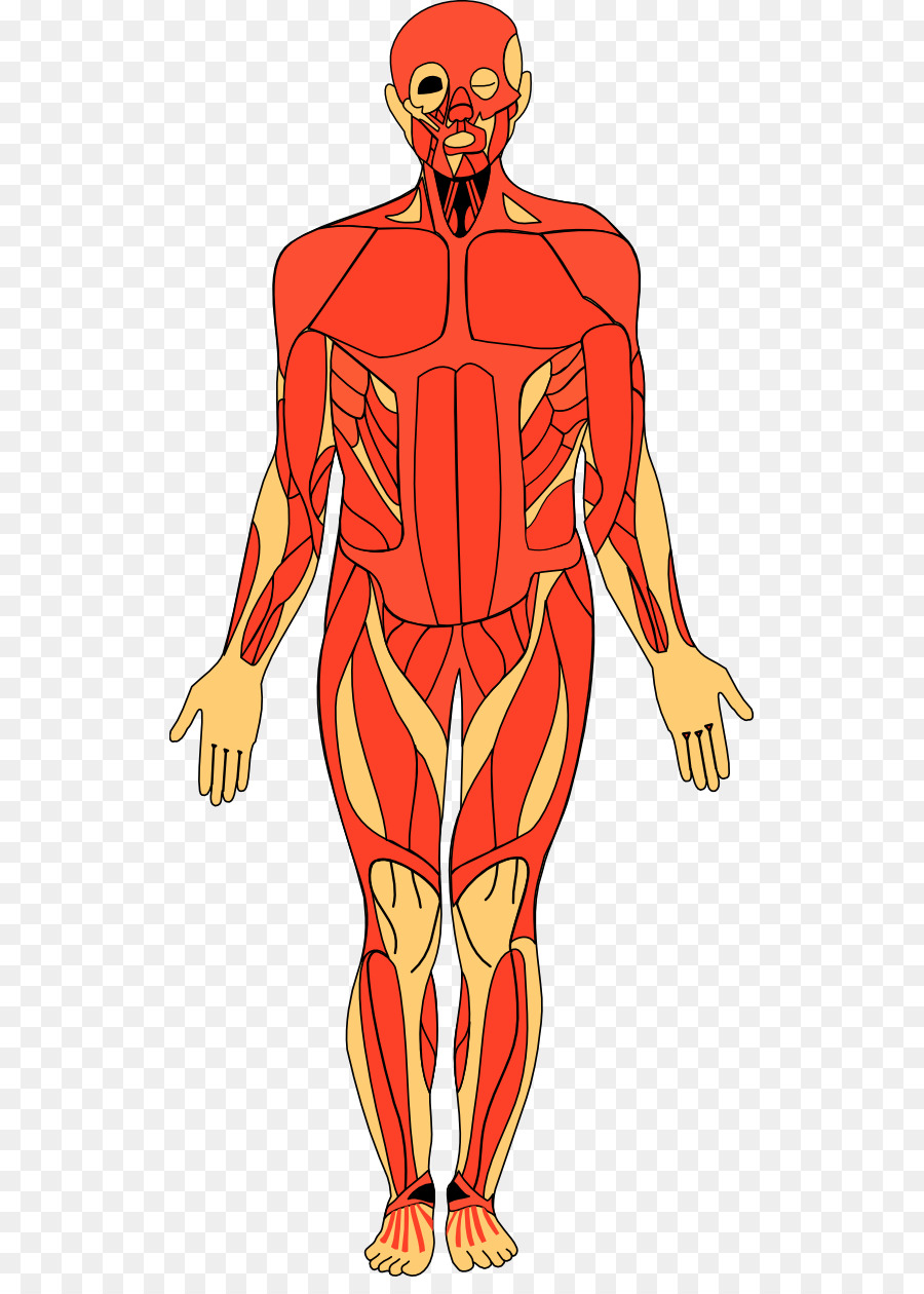 Of the human clip. Body clipart anatomy