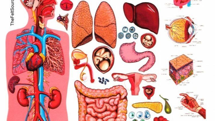 Body clipart anatomy. Human cliparts x