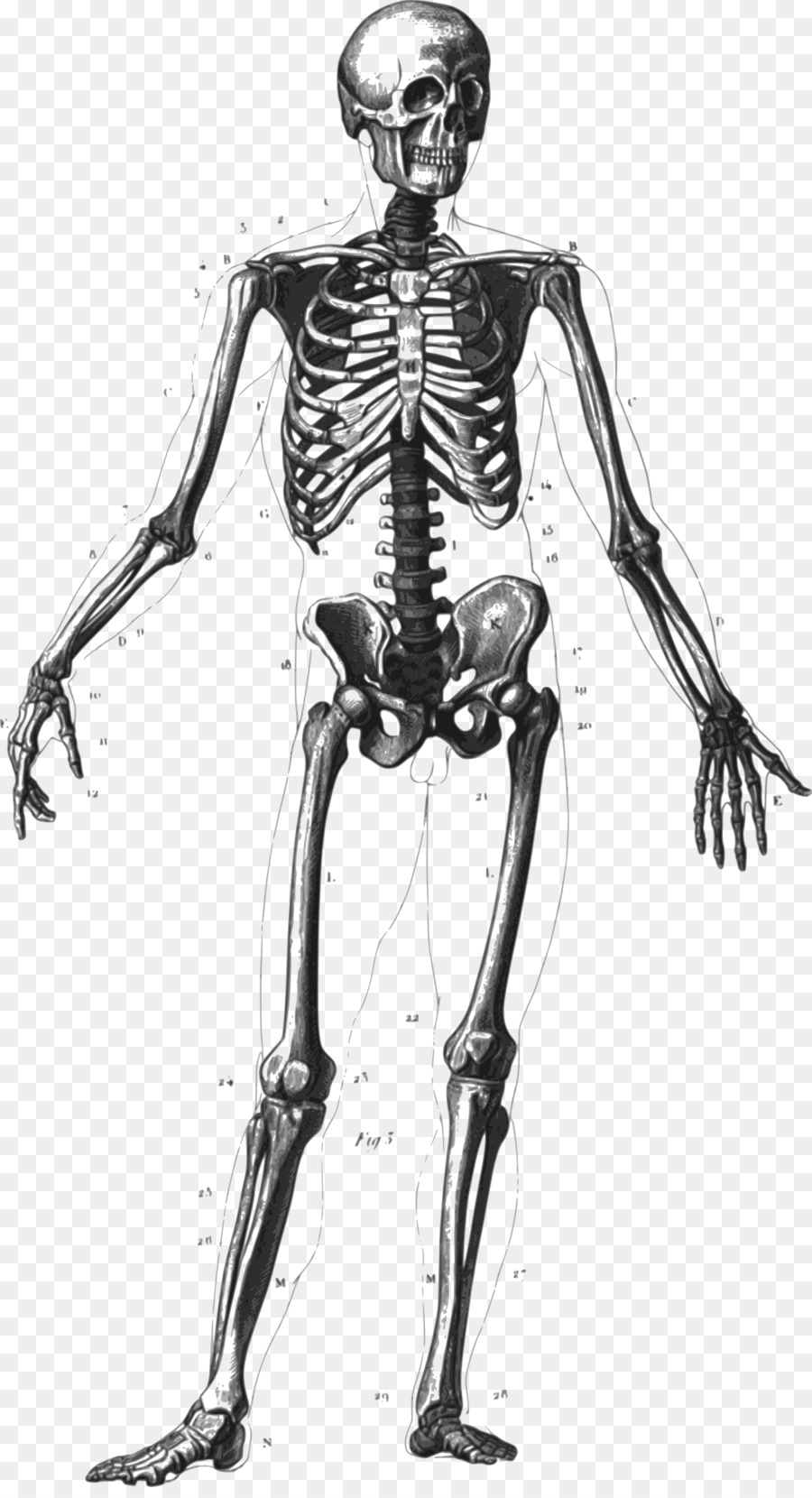 The human skeleton homo. Body clipart anatomy
