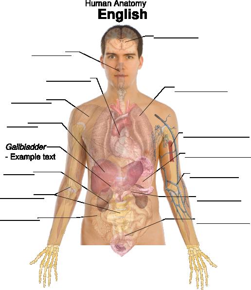Body basics clip art. Humans clipart human anatomy