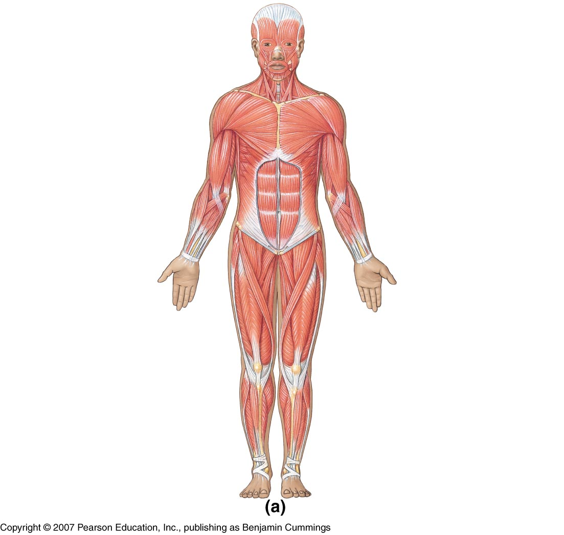 Body clipart anatomy. Of whole human pencil