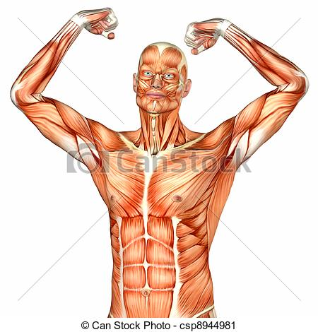 Anatomical . Body clipart anatomy