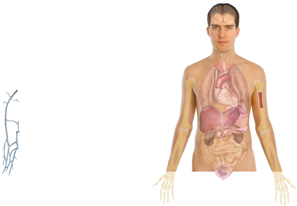 Human basics clip art. Body clipart anatomy