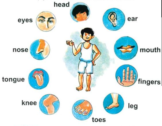 Body clipart body part. Parts for kids cliparts
