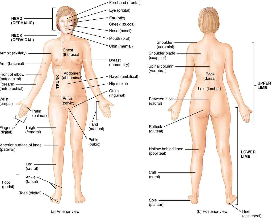 Body clipart body position. Trend the human anatomy