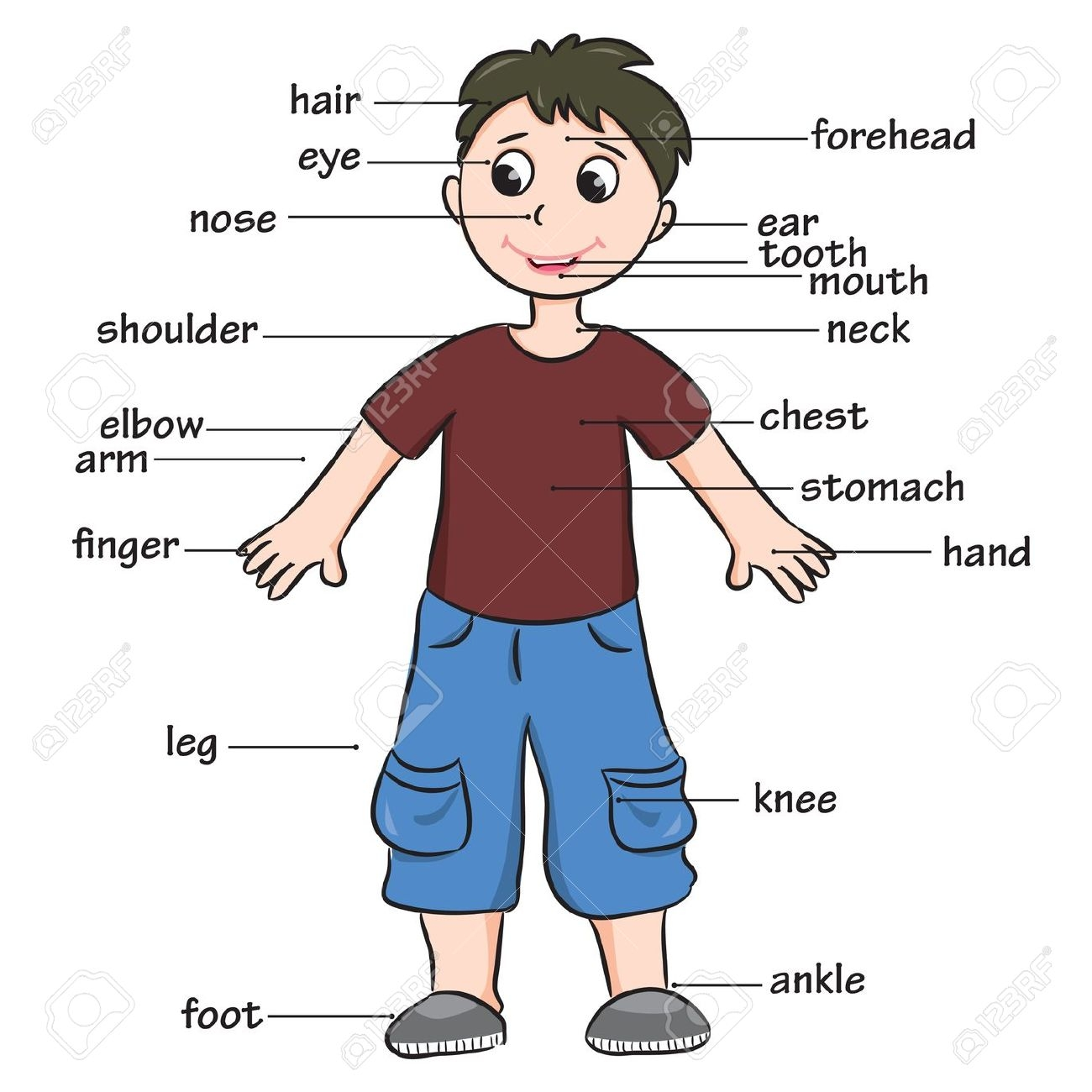 The human for kids. Body clipart body structure