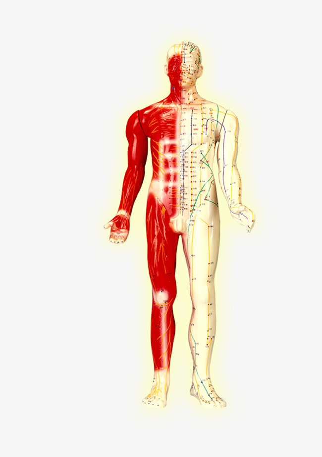 Body clipart body structure. Human engineering png image