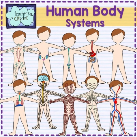 Body clipart body system. Human systems bundle educents
