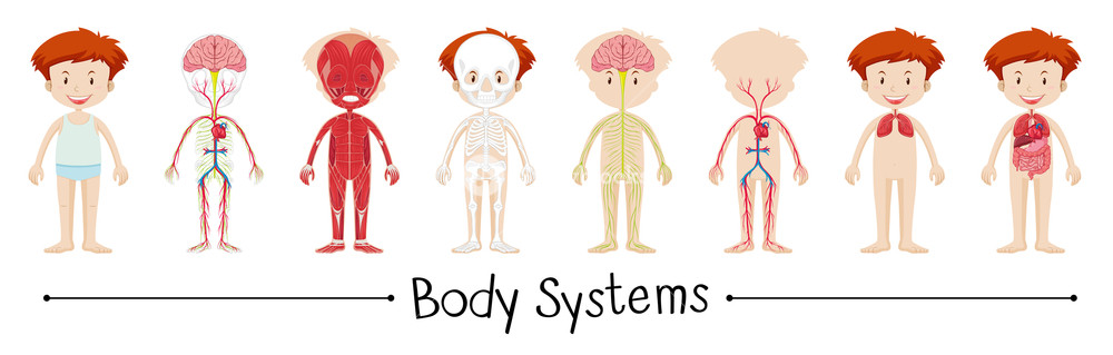 Body clipart body system. Of boy illustration royalty