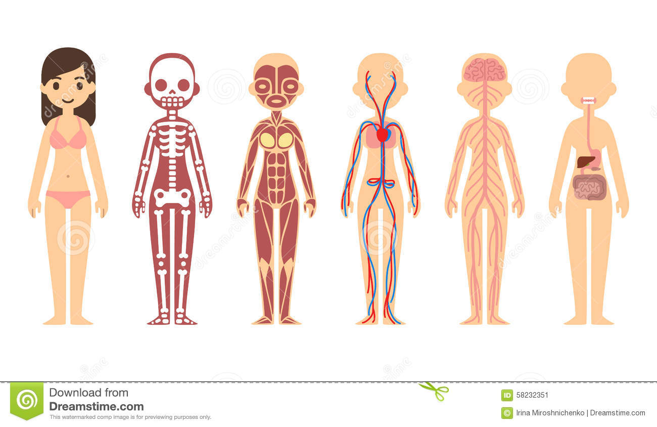 Body clipart body system. Diagram of the organs