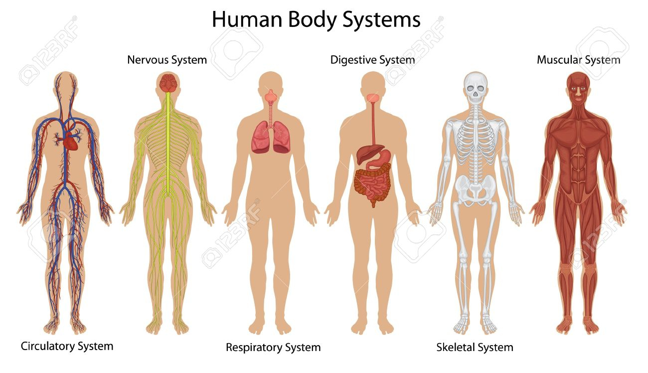 Organs pencil and in. Body clipart body system
