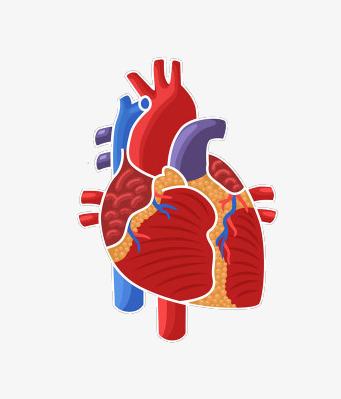 Body clipart heart. Schematic human organs png