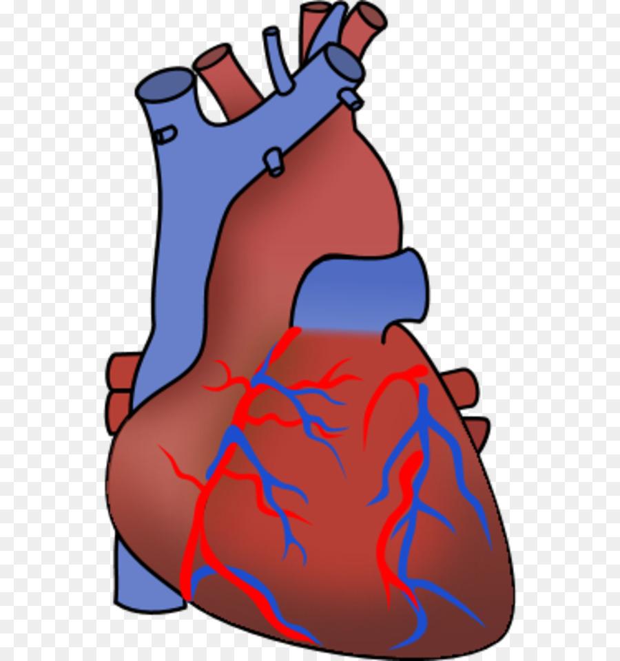 Body clipart heart. Organ anatomy clip art