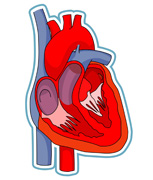 Search results for human. Body clipart heart