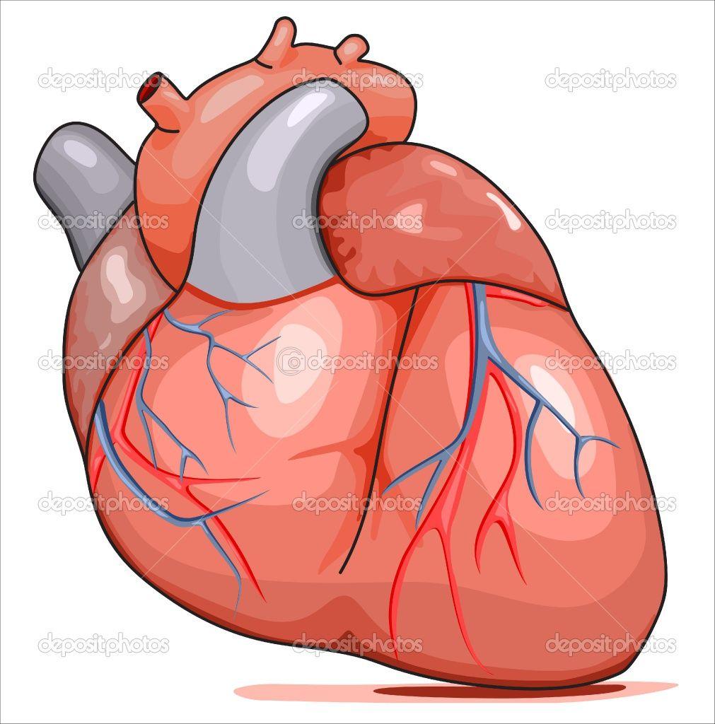 Cartoon human clip art. Lungs clipart anatomical heart