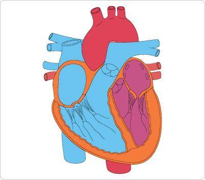 best human clip. Body clipart heart