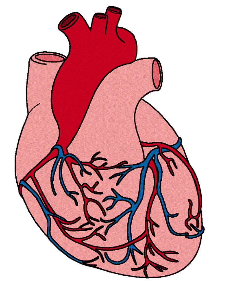 Body clipart heart. Human images with parts